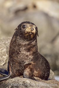 Guadalupe fur seal pup sits on brown rocks along the coastline of Guadalupe Island, Arctocephalus townsendi, Guadalupe Island (Isla Guadalupe)