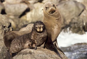 Guadalupe fur seals, mother and pup, Guadalupe Island, California. Guadalupe Island (Isla Guadalupe), Baja California, Mexico, Arctocephalus townsendi, natural history stock photograph, photo id 03100