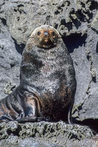 Guadalupe fur seal, adult male in territorial posture, Arctocephalus townsendi, Guadalupe Island (Isla Guadalupe)