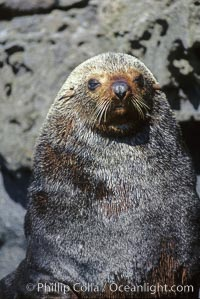 Adult male Guadalupe fur seal, Arctocephalus townsendi, Guadalupe Island (Isla Guadalupe)