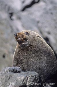 Guadalupe fur seal, adult male, Arctocephalus townsendi, Guadalupe Island (Isla Guadalupe)