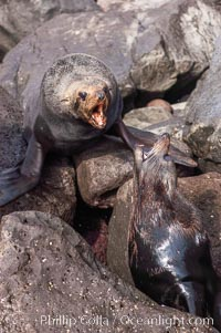 Adult male Guadalupe fur seals fighting over territorial boundaries during summer mating season.  During the summer mating season, a single adjult male will form a harem of females and continually patrol the boundary of his territory, keeping the females near and intimidating other males from approaching, Arctocephalus townsendi, Guadalupe Island (Isla Guadalupe)