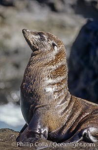 Guadalupe fur seal, bull, Arctocephalus townsendi, Guadalupe Island (Isla Guadalupe)