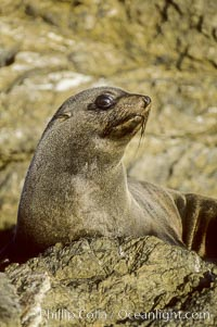 Guadalupe fur seal, San Benito Islands. San Benito Islands (Islas San Benito), Baja California, Mexico, Arctocephalus townsendi, natural history stock photograph, photo id 02103