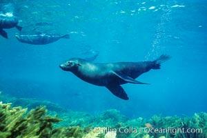 Guadalupe fur seal. Guadalupe Island (Isla Guadalupe), Baja California, Mexico, Arctocephalus townsendi, natural history stock photograph, photo id 02139