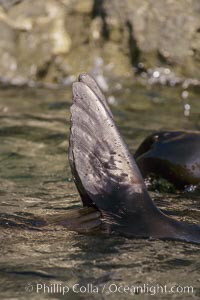 Guadalupe fur seal foreflippers, thermoregulating, San Benito Islands, Arctocephalus townsendi, San Benito Islands (Islas San Benito)