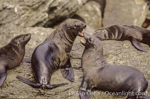 Guadalupe fur seals, two males fighting, Islas San Benito. San Benito Islands (Islas San Benito), Baja California, Mexico, Arctocephalus townsendi, natural history stock photograph, photo id 02296