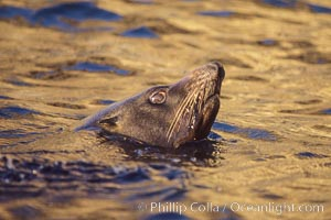 Guadalupe fur seal bull, Arctocephalus townsendi, Guadalupe Island (Isla Guadalupe)