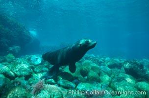 Guadalupe fur seal. Guadalupe Island (Isla Guadalupe), Baja California, Mexico, Arctocephalus townsendi, natural history stock photograph, photo id 02362