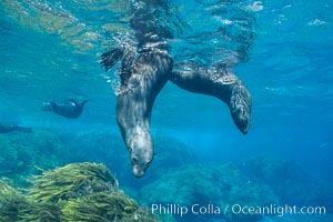 Juvenile Guadalupe fur seals, Arctocephalus townsendi, Guadalupe Island (Isla Guadalupe)