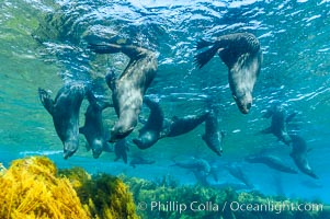A group of juvenile and female Guadalupe fur seals rest and socialize over a shallow, kelp-covered reef.  During the summer mating season, a single adjult male will form a harem of females and continually patrol the underwater boundary of his territory, keeping the females near and intimidating other males from approaching. Guadalupe Island (Isla Guadalupe), Baja California, Mexico, Arctocephalus townsendi, natural history stock photograph, photo id 09675