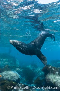 Adult male Guadalupe fur seal, acting territorially, patrolling his harem boundary.  An endangered species, the Guadalupe fur seal appears to be recovering in both numbers and range, Arctocephalus townsendi, Guadalupe Island (Isla Guadalupe)