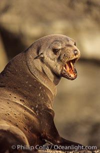 Guadalupe fur seal, Arctocephalus townsendi, Guadalupe Island (Isla Guadalupe)