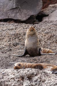 Guadalupe fur seal, hauled out upon volcanic rocks along the shoreline of Guadalupe Island. Guadalupe Island (Isla Guadalupe), Baja California, Mexico, Arctocephalus townsendi, natural history stock photograph, photo id 21446