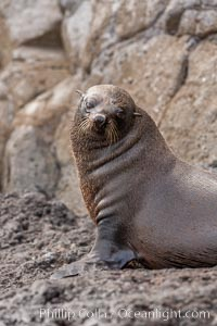 Guadalupe fur seal, hauled out upon volcanic rocks along the shoreline of Guadalupe Island. Guadalupe Island (Isla Guadalupe), Baja California, Mexico, Arctocephalus townsendi, natural history stock photograph, photo id 21448