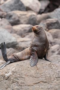 Guadalupe fur seal, hauled out upon volcanic rocks along the shoreline of Guadalupe Island. Guadalupe Island (Isla Guadalupe), Baja California, Mexico, Arctocephalus townsendi, natural history stock photograph, photo id 21471
