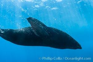 Guadalupe fur seal underwater, Guadalupe Island (Isla Guadalupe)