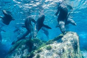 Guadalupe fur seal. Guadalupe Island (Isla Guadalupe), Baja California, Mexico, Arctocephalus townsendi, natural history stock photograph, photo id 10349