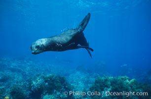 Guadalupe fur seal. Guadalupe Island (Isla Guadalupe), Baja California, Mexico, Arctocephalus townsendi, natural history stock photograph, photo id 10353