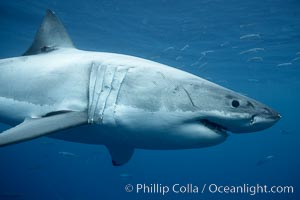 Great white shark, underwater. Guadalupe Island (Isla Guadalupe), Baja California, Mexico, Carcharodon carcharias, natural history stock photograph, photo id 21432