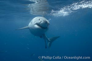 Great white shark, underwater. Guadalupe Island (Isla Guadalupe), Baja California, Mexico, Carcharodon carcharias, natural history stock photograph, photo id 21451