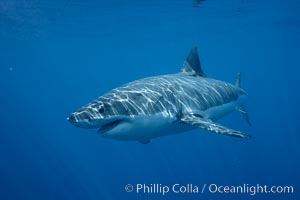 Great white shark, underwater. Guadalupe Island (Isla Guadalupe), Baja California, Mexico, Carcharodon carcharias, natural history stock photograph, photo id 21457