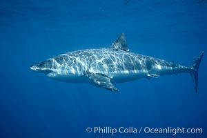 Great white shark, underwater, Carcharodon carcharias, Guadalupe Island (Isla Guadalupe)