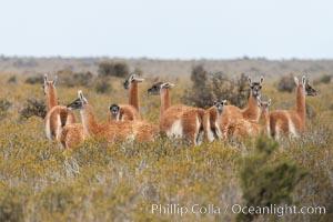 Guanaco, Lama guanicoe, Valdes Peninsula, Patagonia, Argentina, Puerto Piramides, Chubut