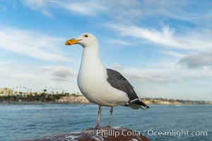 Gull, Oceanside Pier