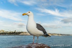 Gull, Oceanside Pier