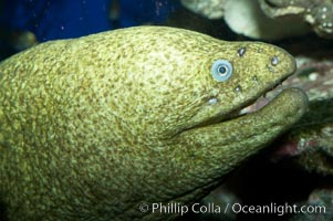 Image 11812, Moray eel., Gymnothorax mordax, Phillip Colla, all rights reserved worldwide.   Keywords: animal:california moray eel:creature:eel:fish:gymnothorax mordax:marine:marine fish:moray:nature:ocean:sea:teleost fish:underwater:wildlife.