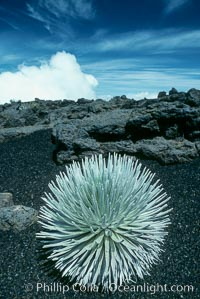 Haleakala silversword plant, endemic to the Haleakala volcano crater area above 6800 foot elevation. Maui, Hawaii, USA, Argyroxiphium sandwicense macrocephalum, natural history stock photograph, photo id 05616