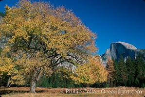 Half Dome and tree, Half Dome, copyright Phillip Colla Natural History Photography, www.oceanlight.com, image #02328, all rights reserved worldwide.