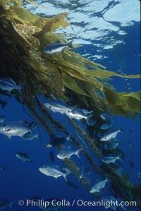 Half-moon perch, offshore drift kelp. San Diego, California, USA, Medialuna californiensis, natural history stock photograph, photo id 05187