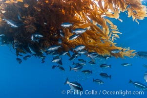 Half-moon perch school below offshore drift kelp, open ocean. San Diego, California, USA, Medialuna californiensis, natural history stock photograph, photo id 09992