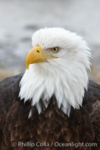 Bald eagle, closeup of head and shoulders showing distinctive white head feathers, yellow beak and brown body and wings. Kachemak Bay, Homer, Alaska, USA, Haliaeetus leucocephalus, Haliaeetus leucocephalus washingtoniensis, natural history stock photograph, photo id 22595