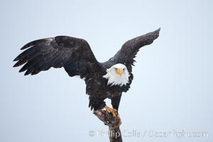 Bald eagle standing on perch, talons grasping wood, wings spread as it balances, snow falling, overcast sky, Haliaeetus leucocephalus, Haliaeetus leucocephalus washingtoniensis, Kachemak Bay, Homer, Alaska