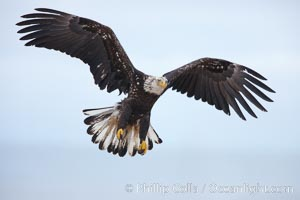 Juvenile bald eagle in flght, wings raised as eagle slows to land, juvenile coloration plumage.    Immature coloration showing white speckling on feathers, Haliaeetus leucocephalus, Haliaeetus leucocephalus washingtoniensis, Kachemak Bay, Homer, Alaska