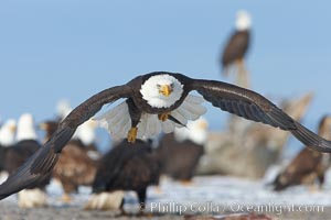 Bald eagle carries a fish while in flight, closeup, flying just over the ground with many bald eagles visible in the background, Haliaeetus leucocephalus, Haliaeetus leucocephalus washingtoniensis, Kachemak Bay, Homer, Alaska