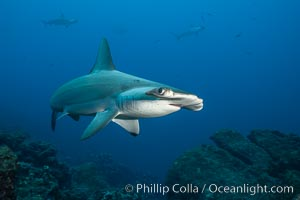 Scalloped hammerhead shark. Wolf Island, Galapagos Islands, Ecuador, Sphyrna lewini, natural history stock photograph, photo id 16263