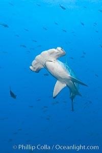 Scalloped hammerhead shark. Wolf Island, Galapagos Islands, Ecuador, Sphyrna lewini, natural history stock photograph, photo id 16267