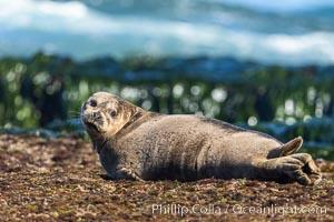 Harbor Seal basking on reef, La Jolla Children's Pool