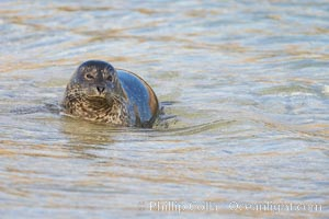 Pacific harbor seal washed by the ocean on sandy beach, La Jolla, California