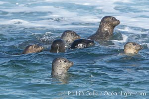A group of Pacific harbor seals swim in the Childrens Pool in La Jolla, Phoca vitulina richardsi
