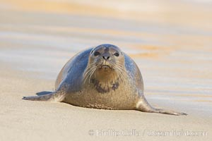 Pacific harbor seal on wet sandy beach, Phoca vitulina richardsi, La Jolla, California