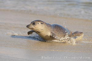 Pacific harbor seal on wet sandy beach. La Jolla, California, USA, Phoca vitulina richardsi, natural history stock photograph, photo id 20228
