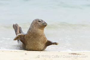 Pacific harbor seal stretches on a sandy beach, Phoca vitulina richardsi, La Jolla, California