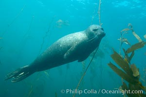 Harbor seal underwater, Phoca vitulina richardsi, La Jolla, California