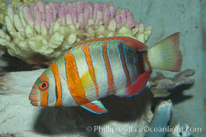 Image 07846, Harlequin tuskfish., Choerodon fasciatus, Phillip Colla, all rights reserved worldwide. Keywords: animal, choerodon fasciatus, color and pattern, fish, fish anatomy, harlequin tuskfish, marine fish, stripe, underwater, wrasse.