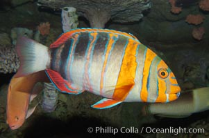 Image 08848, Harlequin tuskfish., Choerodon fasciatus, Phillip Colla, all rights reserved worldwide.   Keywords: animal:choerodon fasciatus:color and pattern:fish:fish anatomy:harlequin tuskfish:marine fish:stripe:underwater:wrasse.